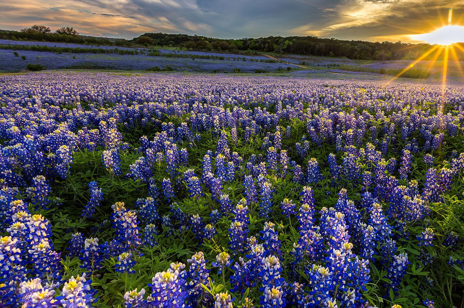 Field of Blue Bonnet flowers
